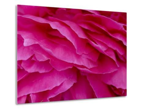 Close View of Petals of a Peony Flower, Groton, Connecticut-Todd Gipstein-Metal Print