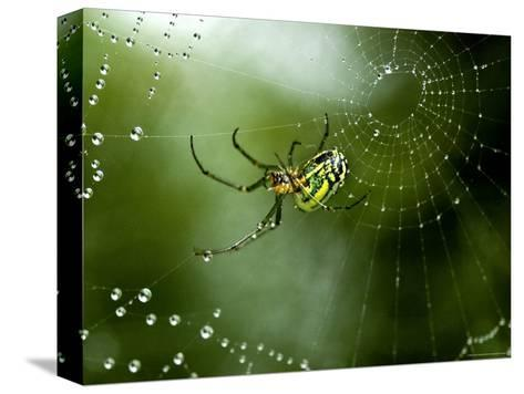 Cobweb Weaver Spider Rests on his Dew Covered Web, Groton, Connecticut-Todd Gipstein-Stretched Canvas Print