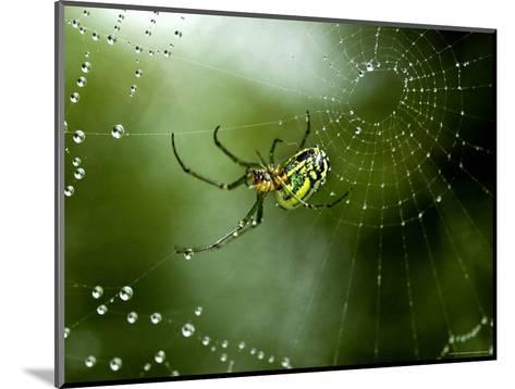 Cobweb Weaver Spider Rests on his Dew Covered Web, Groton, Connecticut-Todd Gipstein-Mounted Photographic Print
