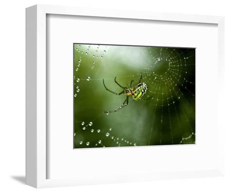 Cobweb Weaver Spider Rests on his Dew Covered Web, Groton, Connecticut-Todd Gipstein-Framed Art Print