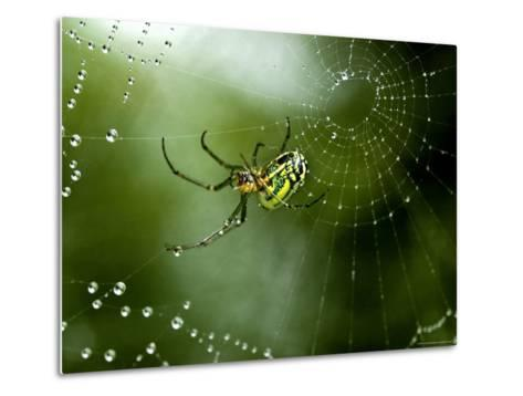 Cobweb Weaver Spider Rests on his Dew Covered Web, Groton, Connecticut-Todd Gipstein-Metal Print