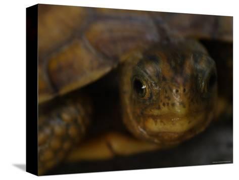 Close View Shows a Box Turtle-Stephen Alvarez-Stretched Canvas Print