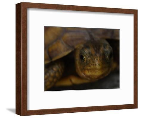 Close View Shows a Box Turtle-Stephen Alvarez-Framed Art Print