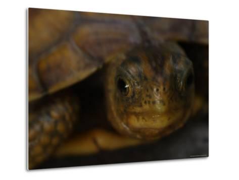 Close View Shows a Box Turtle-Stephen Alvarez-Metal Print