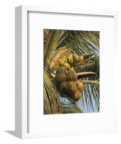 Coconuts Cluster at Los Tules Resort in Puerto Vallarta, Mexico-Rich Reid-Framed Art Print