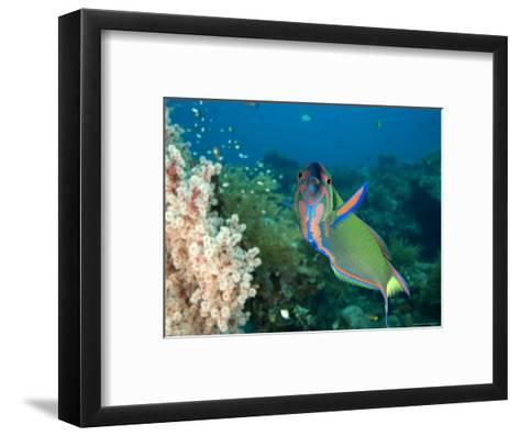 Closeup of a Brightly Colored Crescent Wrasse, Bali, Indonesia-Tim Laman-Framed Art Print