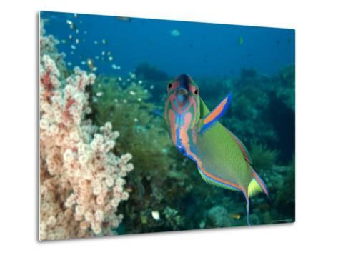 Closeup of a Brightly Colored Crescent Wrasse, Bali, Indonesia-Tim Laman-Metal Print