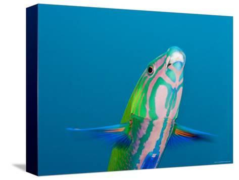 Closeup of a Brighly Colored Crescent Wrasse, Bali, Indonesia-Tim Laman-Stretched Canvas Print