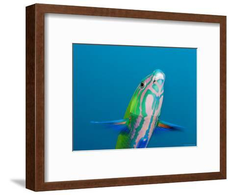 Closeup of a Brighly Colored Crescent Wrasse, Bali, Indonesia-Tim Laman-Framed Art Print
