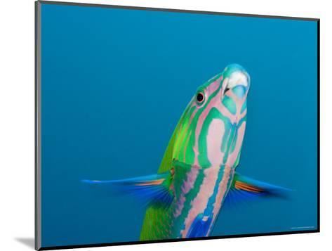 Closeup of a Brighly Colored Crescent Wrasse, Bali, Indonesia-Tim Laman-Mounted Photographic Print