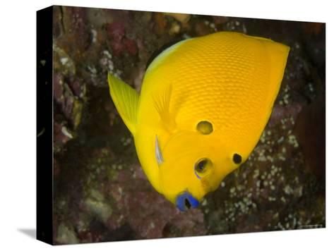 Closeup of a Lemonpeel Angelfish, Bali, Indonesia-Tim Laman-Stretched Canvas Print