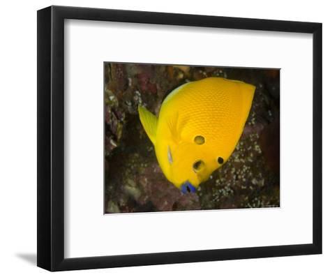 Closeup of a Lemonpeel Angelfish, Bali, Indonesia-Tim Laman-Framed Art Print