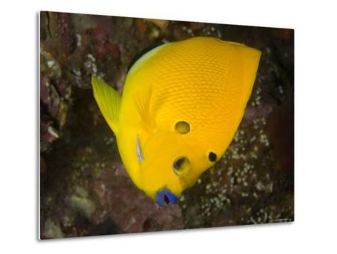 Closeup of a Lemonpeel Angelfish, Bali, Indonesia-Tim Laman-Metal Print