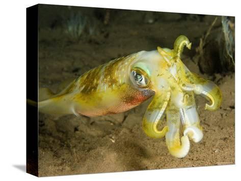 Closeup of a Bigfin Reef Squid, Bali, Indonesia-Tim Laman-Stretched Canvas Print