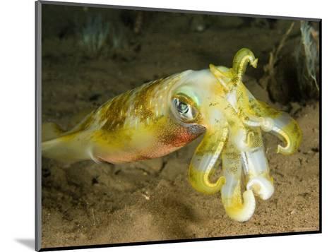 Closeup of a Bigfin Reef Squid, Bali, Indonesia-Tim Laman-Mounted Photographic Print