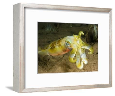 Closeup of a Bigfin Reef Squid, Bali, Indonesia-Tim Laman-Framed Art Print
