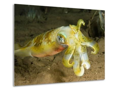 Closeup of a Bigfin Reef Squid, Bali, Indonesia-Tim Laman-Metal Print