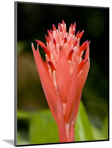 Bromeliad Flower, An Epiphyte from C and S American Rain Forests, Singapore-Tim Laman-Mounted Photographic Print