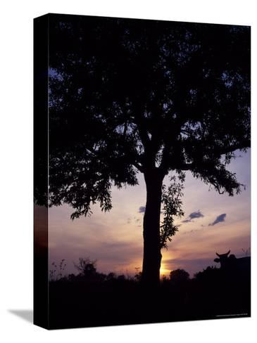 Cattle Graze Beneath a Shea Tree in Uganda-David Pluth-Stretched Canvas Print