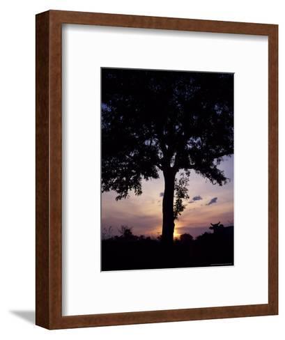 Cattle Graze Beneath a Shea Tree in Uganda-David Pluth-Framed Art Print