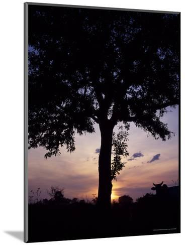 Cattle Graze Beneath a Shea Tree in Uganda-David Pluth-Mounted Photographic Print