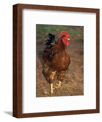 Bantam Hen Walks on Hay Outdoors-Richard Nowitz-Framed Art Print