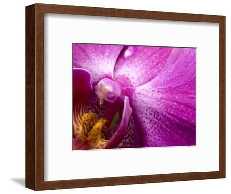 Close View of a Pink Orchid Blossom, Groton, Connecticut-Todd Gipstein-Framed Art Print