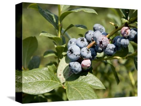 Blueberries on Blueberry Bush-Tim Laman-Stretched Canvas Print
