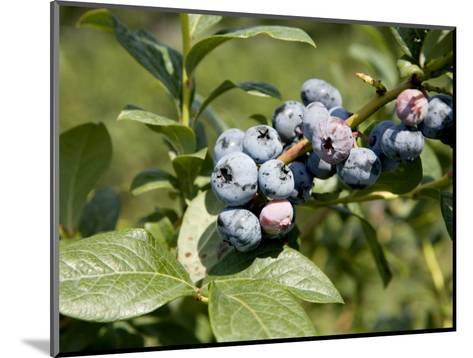 Blueberries on Blueberry Bush-Tim Laman-Mounted Photographic Print