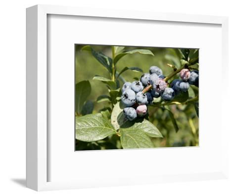 Blueberries on Blueberry Bush-Tim Laman-Framed Art Print