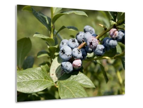 Blueberries on Blueberry Bush-Tim Laman-Metal Print