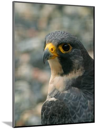Close Portrait of a Peregrine Falcon, Alaska-Ralph Lee Hopkins-Mounted Photographic Print