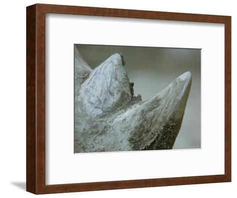Close-Up View of a White Rhino's Muddy Horns, Henry Doorly Zoo, Nebraska-Joel Sartore-Framed Art Print