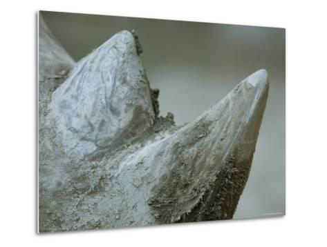 Close-Up View of a White Rhino's Muddy Horns, Henry Doorly Zoo, Nebraska-Joel Sartore-Metal Print