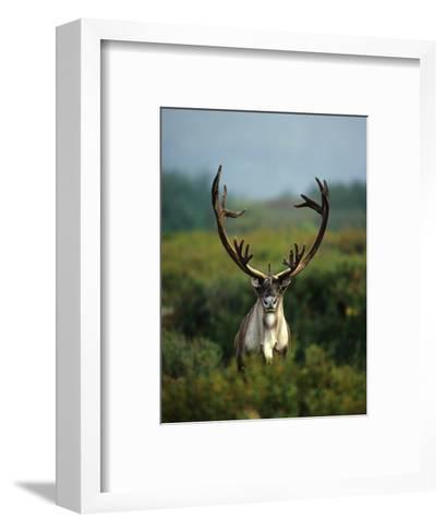 Bull Caribou in Velvet Antlers, Alaska-Michael S^ Quinton-Framed Art Print