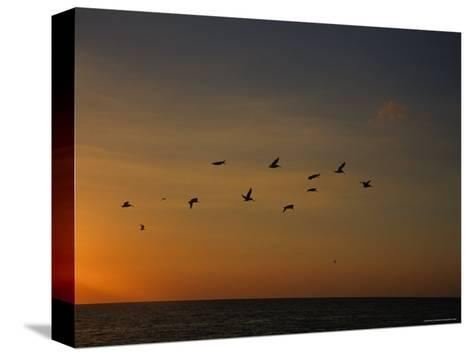 Birds Fly into the Wind above the Gulf of Mexico's Warm Water, Holmes Beach, Florida-Stacy Gold-Stretched Canvas Print