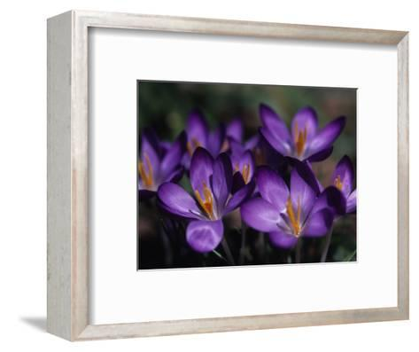 Close View of Purple African Violets, Washington, D.C.-Stacy Gold-Framed Art Print