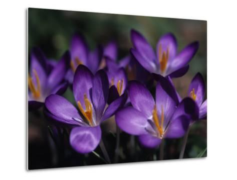 Close View of Purple African Violets, Washington, D.C.-Stacy Gold-Metal Print