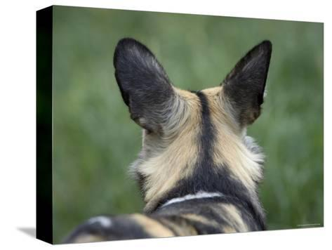 African Hunting Dog from the Sedgwick County Zoo, Kansas-Joel Sartore-Stretched Canvas Print