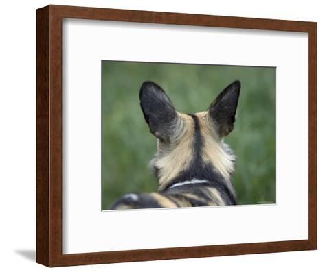 African Hunting Dog from the Sedgwick County Zoo, Kansas-Joel Sartore-Framed Art Print