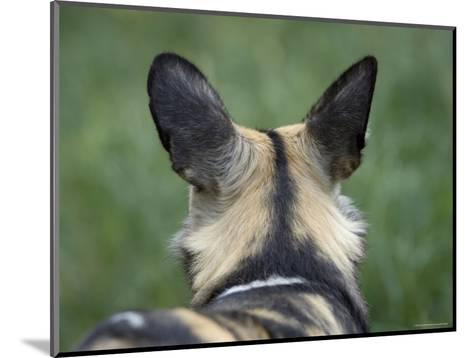 African Hunting Dog from the Sedgwick County Zoo, Kansas-Joel Sartore-Mounted Photographic Print