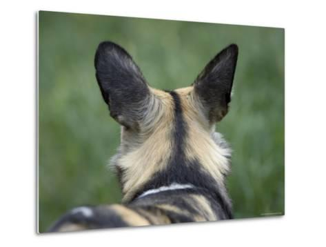 African Hunting Dog from the Sedgwick County Zoo, Kansas-Joel Sartore-Metal Print