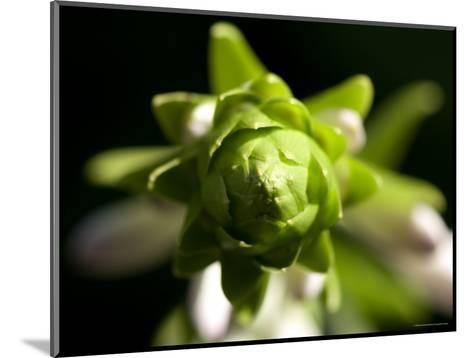 Close Up of a Giant Hosta Flower, Elkhorn, Nebraska-Joel Sartore-Mounted Photographic Print