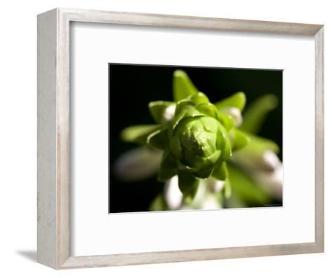 Close Up of a Giant Hosta Flower, Elkhorn, Nebraska-Joel Sartore-Framed Art Print