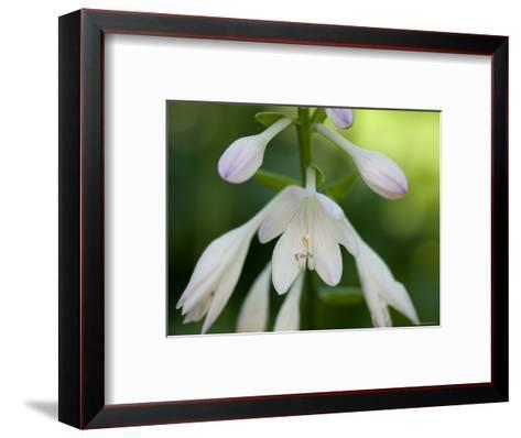 Close Up of a Hosta Flower, Elkhorn, Nebraska-Joel Sartore-Framed Art Print