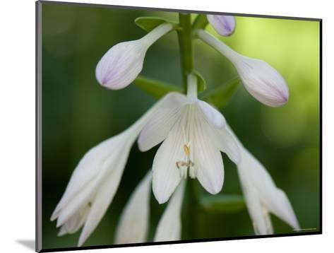 Close Up of a Hosta Flower, Elkhorn, Nebraska-Joel Sartore-Mounted Photographic Print