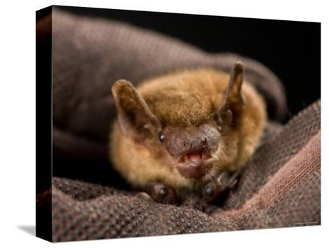 Big Brown Bat at the Sunset Zoo, Kansas-Joel Sartore-Stretched Canvas Print