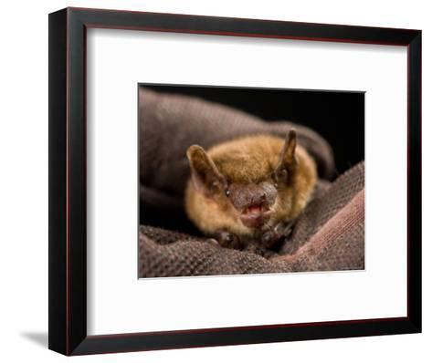Big Brown Bat at the Sunset Zoo, Kansas-Joel Sartore-Framed Art Print