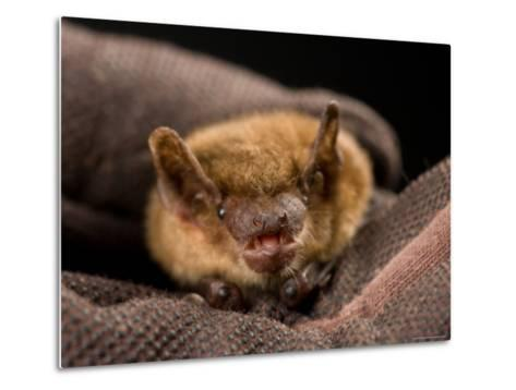 Big Brown Bat at the Sunset Zoo, Kansas-Joel Sartore-Metal Print