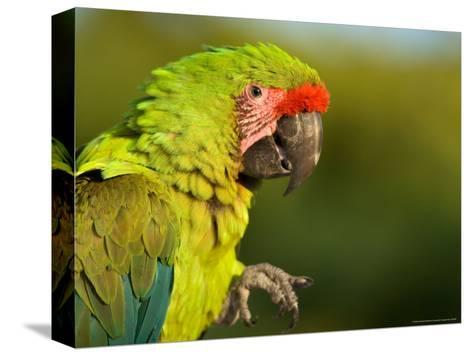 Buffon's or Great Green Macaw, at the Zoo-Joel Sartore-Stretched Canvas Print